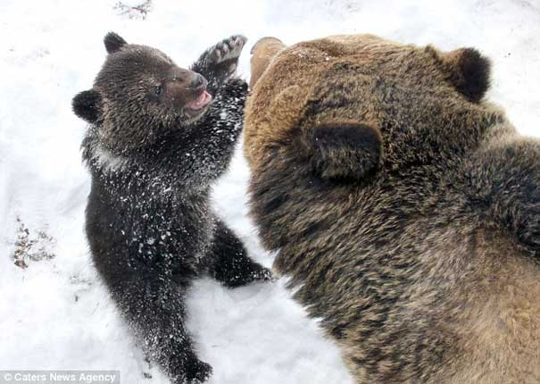 Bear cub playing with his father bear