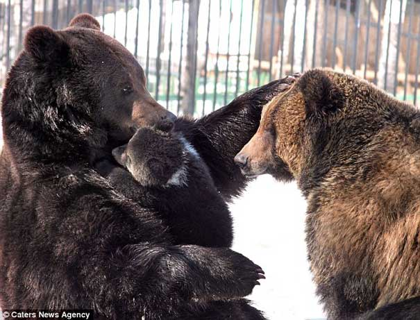 Bear family together