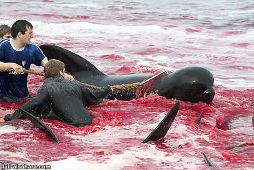 Whales covered in blood